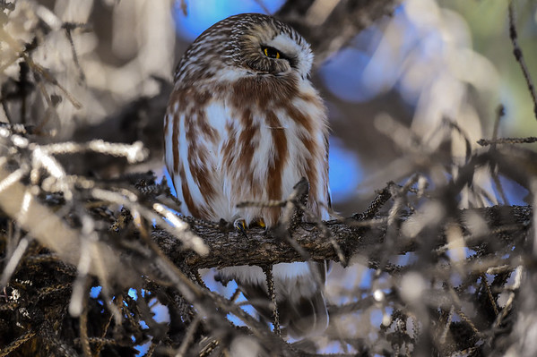 11-29-15 Northern Saw-Whet Owl
