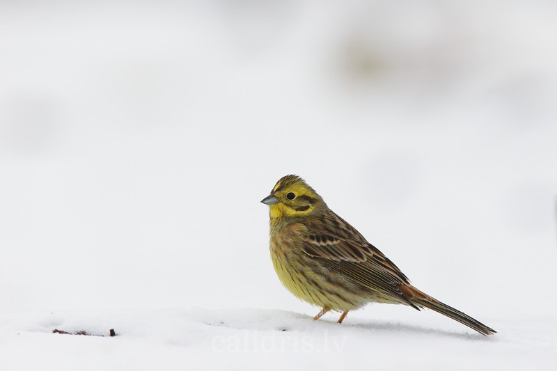 Yellowhammer in snow / Dzeltena sterste sniega / Emberiza citrinella.