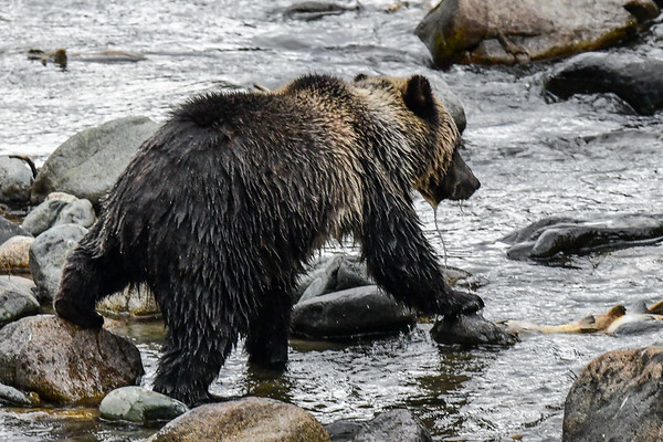 9-30-17 Bella Coola Grizzly Named Perfect