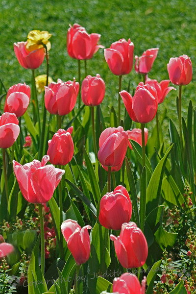 Tulips, Tulips ~ More beautiful tulips at Descanso Gardens.