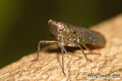 Green-bellied Planthopper