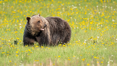 Pacific Northwest Grizzly and Black Bears