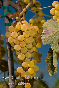 Golden Muscat Grapes - Vitis vinifera cross