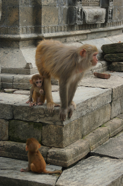 Monkey and babies at Pashupatinath