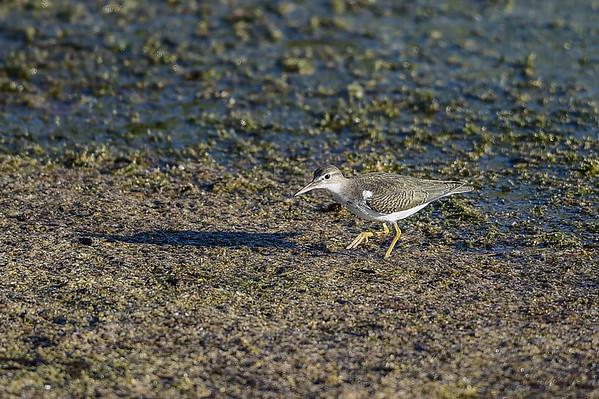 8-19-15 Spotted Sandpiper (Juv)