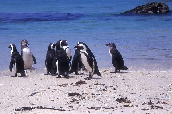 פינגווין 2.jpg