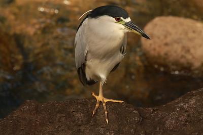 White Crown Night Heron