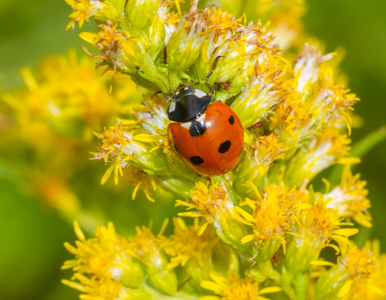 Coccinella septempunctata Seven-spotted Ladybird Beetle ladybug C-7 Gray Jay Way Owl Avenue Sax-Zim Bog IMG_4795.jpg