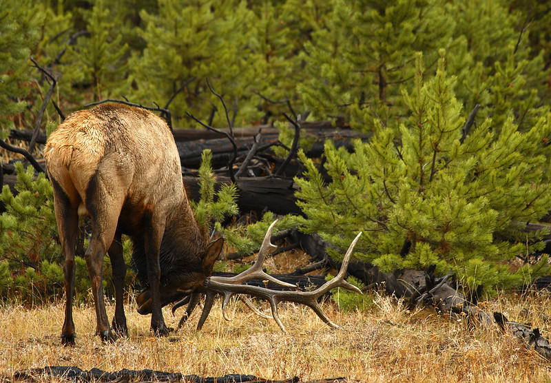 Elk in Rut - Yellowstone National Park