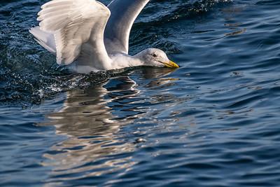 Glaucous-winged Gull [Larus glaucescens]