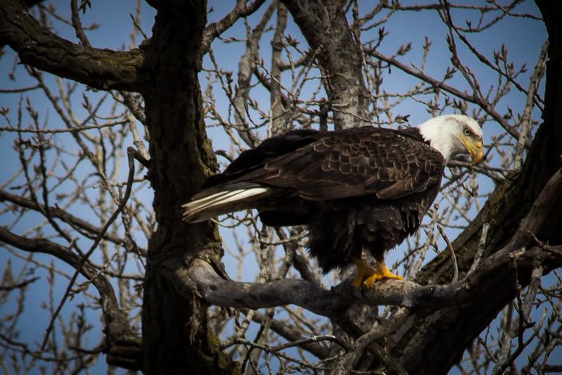 Eagle sitting-7050.jpg