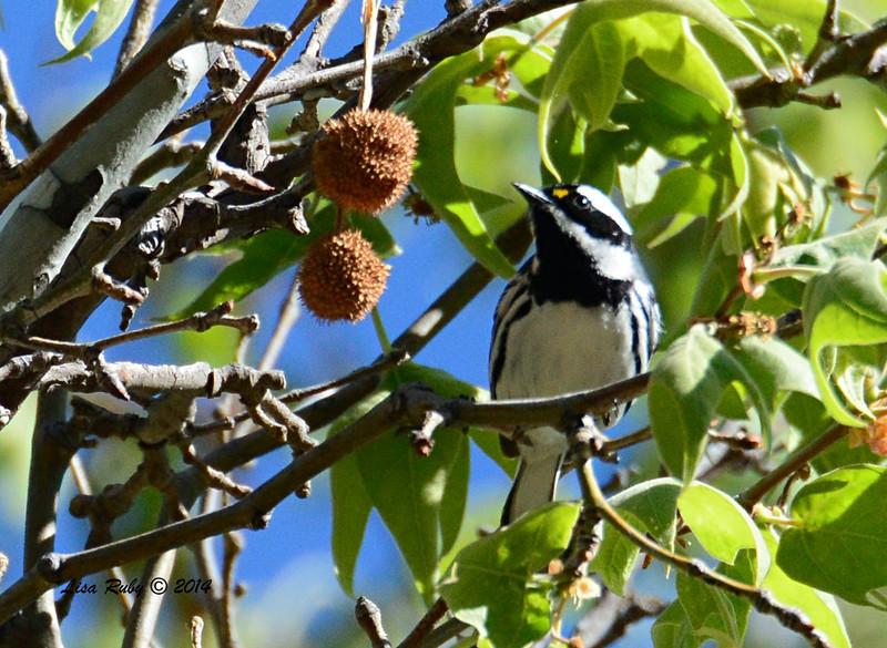Black-throated Gray Warbler - 4/20/2014 - Huachuca Canyon, Sierra Vista, Arizona