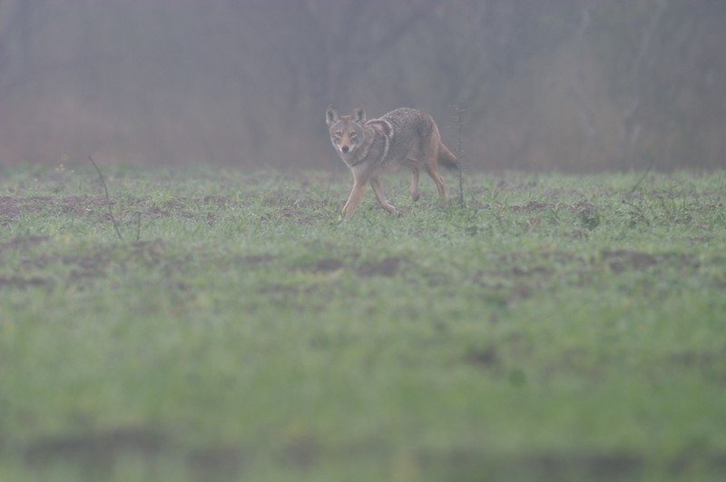 Coyotes are a very successfull mammal; They seem to survive in many habitats from urban to mountain and everything inbetween [February; Sick Dog Ranch, near Alice, Texas]