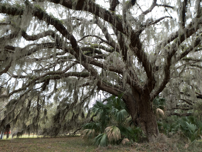 Live oak at Cannon's Point, Saint Simons Island, Georgia