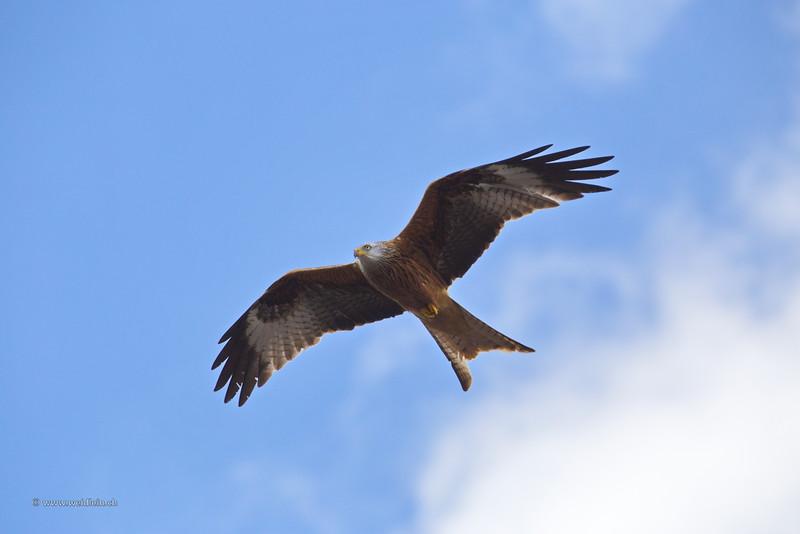 Red Kite - Rotmilan