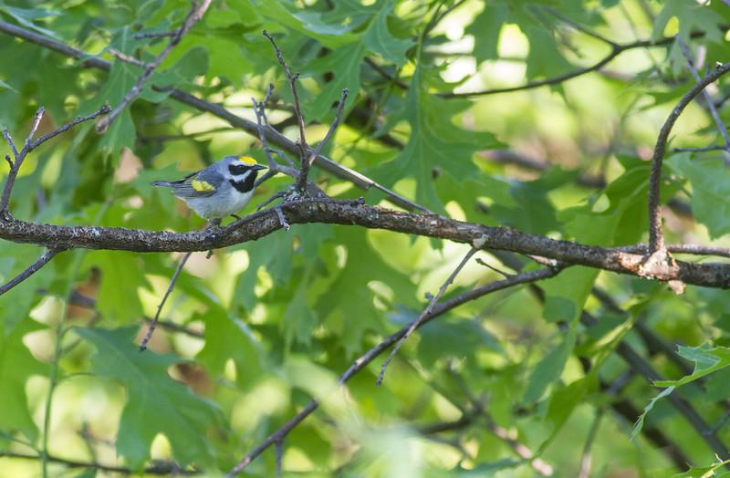 Golden-winged Warbler Crex Meadows Grantsburg WI-0168.jpg