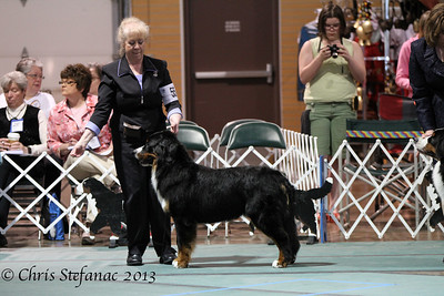 Futurity 9-12 Puppy Dog BMDCA 2013