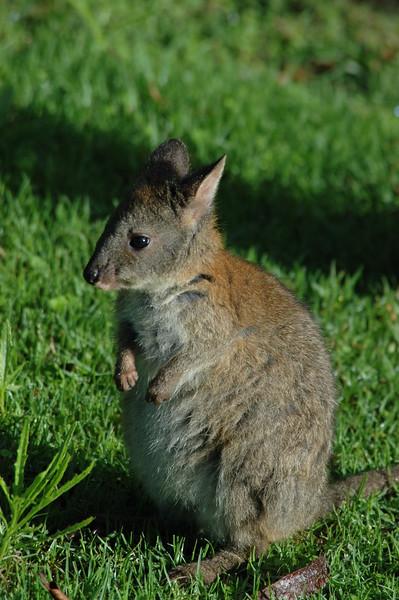 PadyMelon Australia