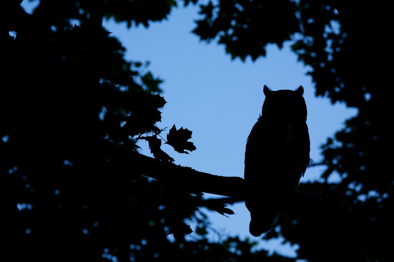 Great Horned Owl in a Norway Maple tree at dusk