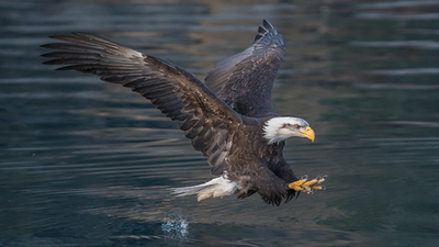 Bald eagle attack by Jon Hannah.jpg