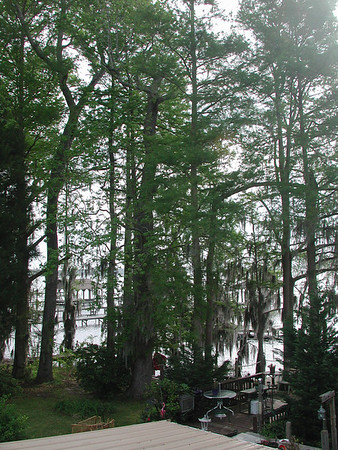 Green leaves at lake waccamaw