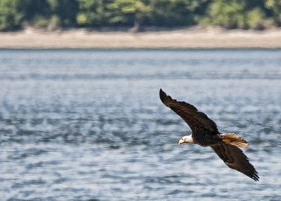 Eagles and Heron
