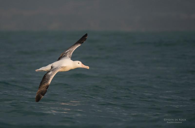 Southern Royal Albatross, Kaikoura, SI, NZ, Jan 2013.jpg