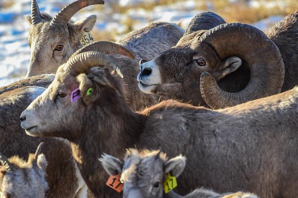 11-21-14 Bighorn Sheep Some Large Rams