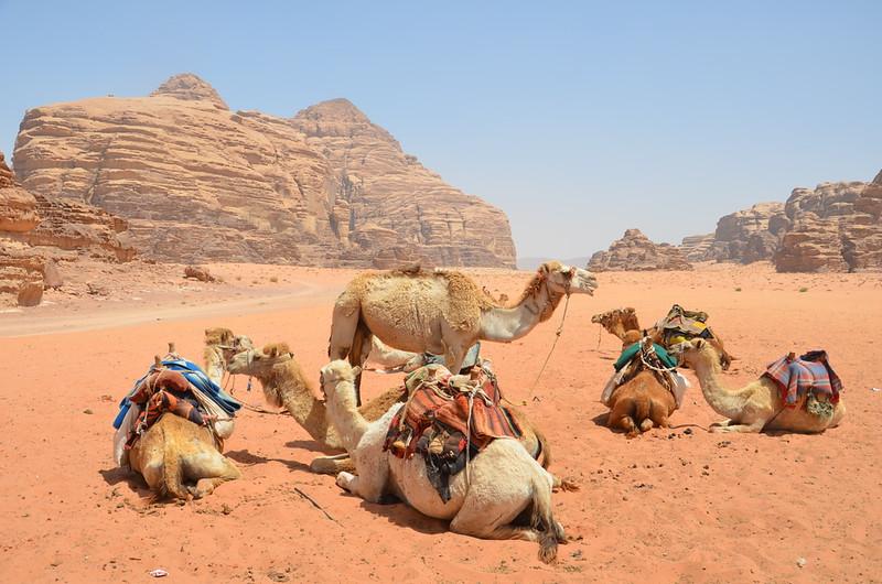 DSC_9453-camels-in-wadi-rum.JPG