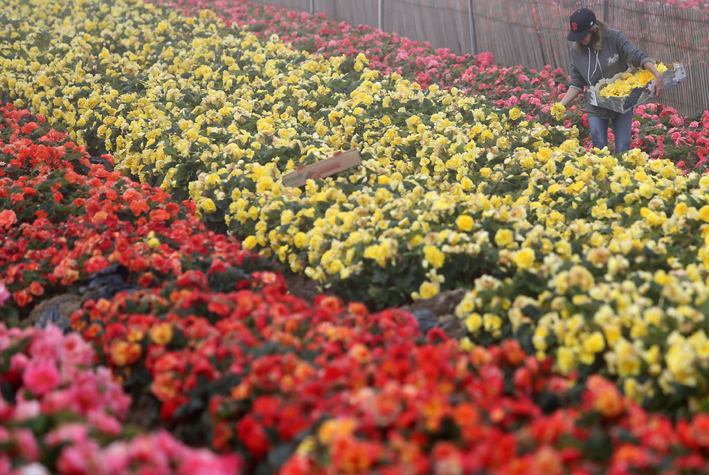 . Colorful begonias are muted by a sheet of fog in Marina on Saturday. (Kevin Johnson -- Santa Cruz Sentinel)