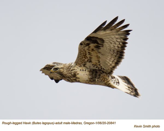 Rough-Legged Hawk A20841.jpg