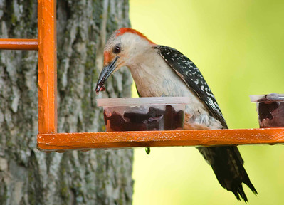 """Here I caught him """"red-handed"""" or I should say """"red-beaked""""."""