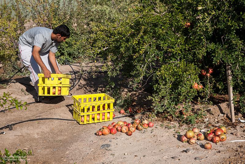 Pomegranate - Aljabal Alakhdhar (34)-Aljabal Alakhdhar-Oman.jpg