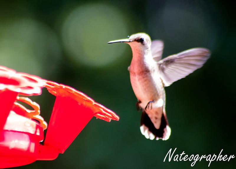 HummingBirds-4221.jpg