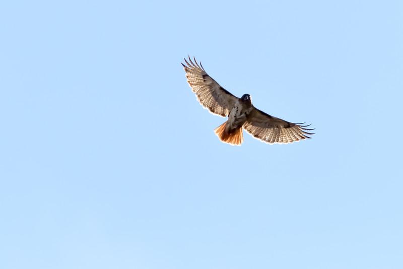 Hawk 2-8107.jpg