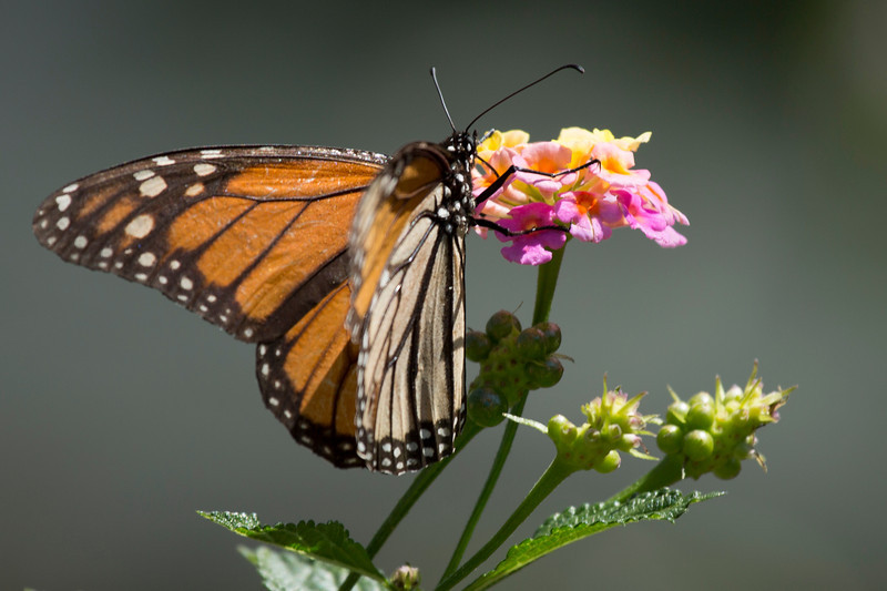 This Monarch Butterfly has found just the right blossom.