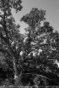 015-tree_oak-wdsm-29jul14-004-bw-1791
