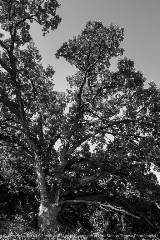 015-tree_oak-wdsm-29jul14-004-bw-1791