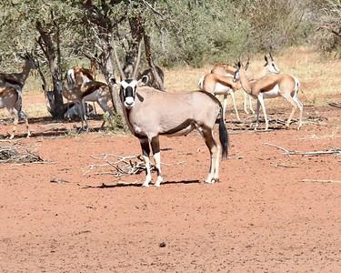 10-26-2017  Joburg, Tswalu Kalahari Half Day Game Ride