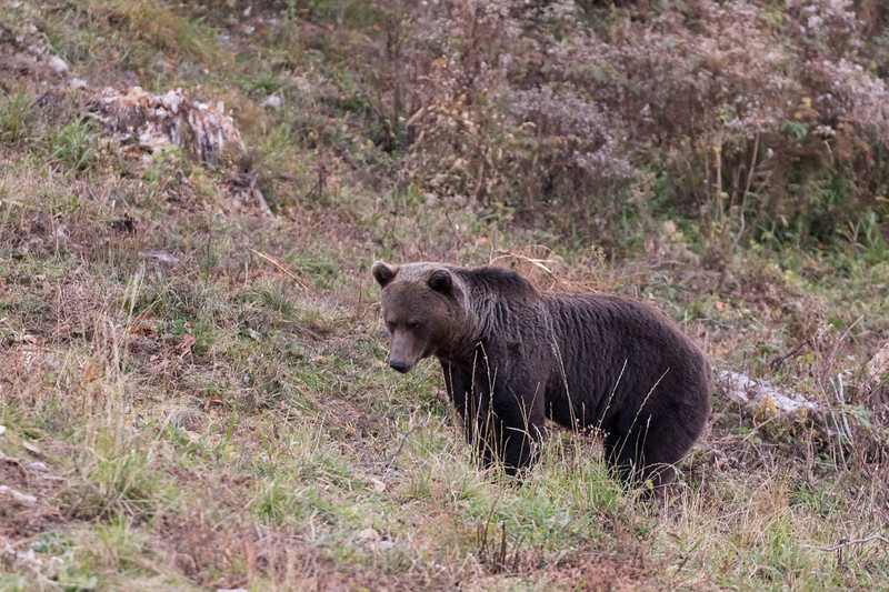 carpathian mountains, bunea lodge, brown bear