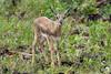 A young Thomson Gazelle