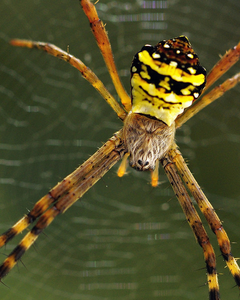 Up-close-Signature-Spider.jpg
