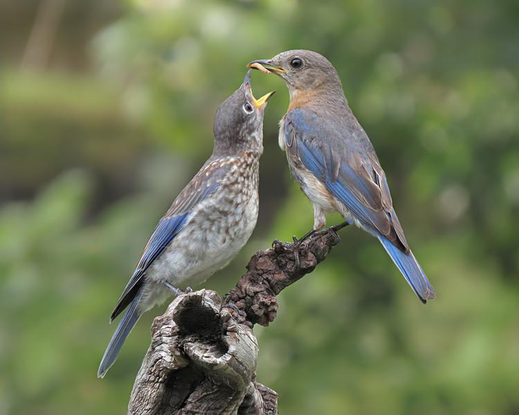 SX50_bluebird_fledgling_faith_boas_068.jpg