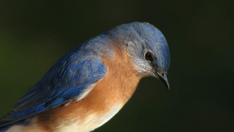 bluebird_4121.jpg