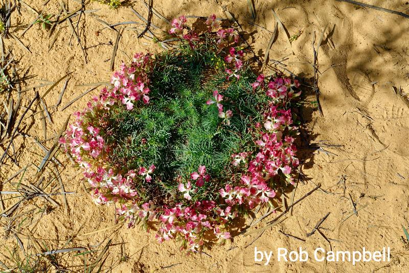 Wreath Flower, Leschenaultia macrantha. Near Mullewa, mid west, Western Australia.