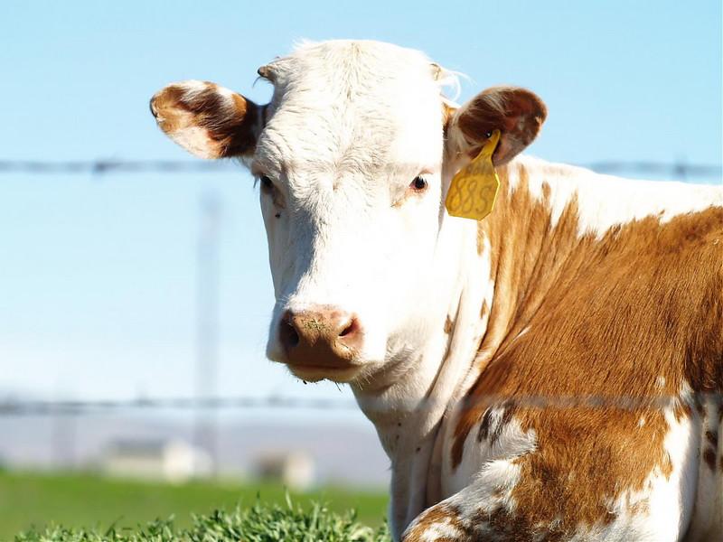 rkallen BEBO (MY COW, WELL SORT OF)