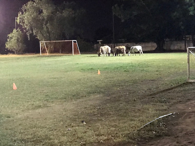 Gaborone Cows