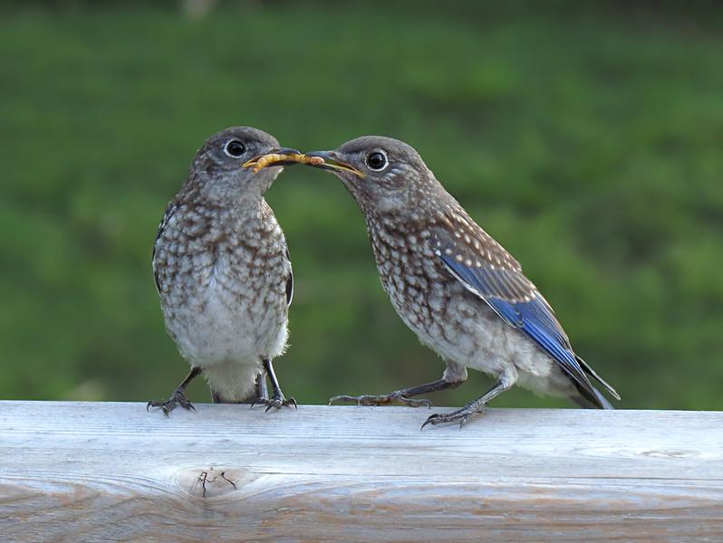 sx50_bluebird_fledgling_822.jpg