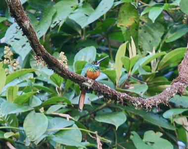 Puffbirds and Jacamars