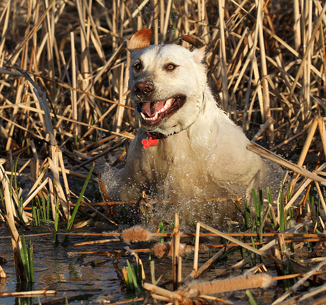 dog in the cattails.jpg